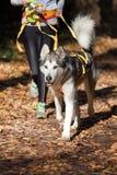 阿拉斯加的爱斯基摩狗 免版税图库摄影