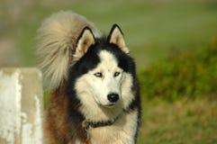 阿拉斯加的爱斯基摩狗 库存照片