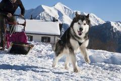 阿拉斯加的爱斯基摩狗 免版税库存照片