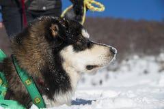 阿拉斯加的爱斯基摩狗 免版税库存图片
