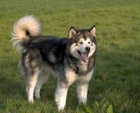 阿拉斯加的狗爱斯基摩狗 免版税库存照片