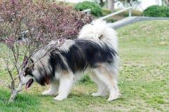 阿拉斯加的狗爱斯基摩狗 免版税库存图片