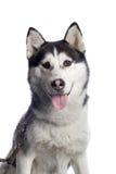 阿拉斯加的狗雪撬 免版税库存照片