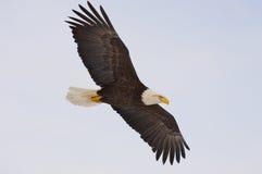 阿拉斯加的白头鹰 免版税库存照片