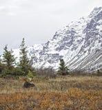 阿拉斯加的秋天麋 库存图片