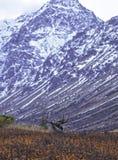 阿拉斯加的秋天麋 免版税图库摄影