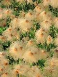 阿拉斯加的羊胡子草-特写镜头 库存图片