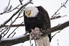 阿拉斯加的老鹰吞食三文鱼 图库摄影
