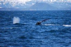 阿拉斯加的鲸鱼 库存图片