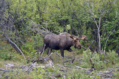 阿拉斯加的麋 免版税库存照片