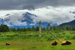 阿拉斯加的麝香 免版税库存图片