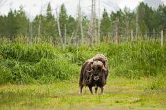 阿拉斯加的麝香 免版税库存照片