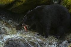 阿拉斯加的黑熊狩猎三文鱼在河 图库摄影