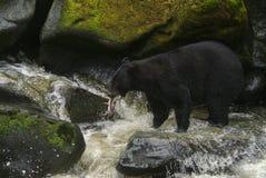 阿拉斯加的黑熊狩猎三文鱼在河 免版税库存照片