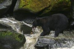阿拉斯加的黑熊狩猎三文鱼在河 免版税库存图片