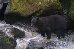 阿拉斯加的黑熊狩猎三文鱼在河 免版税图库摄影