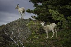 阿拉斯加的Dall母羊 库存图片