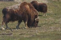 阿拉斯加的Muskox 免版税图库摄影