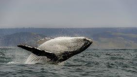 阿拉斯加突破口frederick驼背声音sw鲸鱼 库存图片