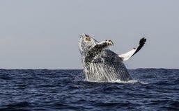 阿拉斯加突破口frederick驼背声音sw鲸鱼 免版税图库摄影