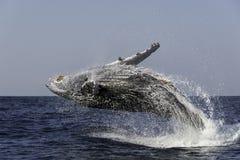 阿拉斯加突破口frederick驼背声音sw鲸鱼 免版税库存照片