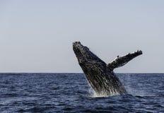 阿拉斯加突破口frederick驼背声音sw鲸鱼 库存照片