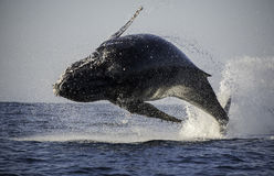 阿拉斯加突破口frederick驼背声音sw鲸鱼 免版税库存图片