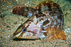 阿拉斯加绿色鱼在日本海中水  免版税库存图片