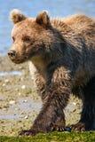 阿拉斯加逗人喜爱小布朗北美灰熊Cub走 免版税图库摄影