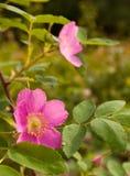 阿拉斯加通配绽放的玫瑰 库存图片