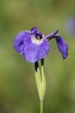 阿拉斯加通配花的虹膜 图库摄影