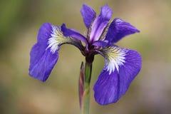 阿拉斯加通配花的虹膜 免版税库存图片