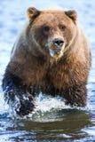 阿拉斯加银色三文鱼小河棕熊强有力的爪 库存图片