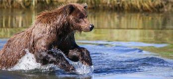 阿拉斯加银色三文鱼小河棕熊渔 库存照片
