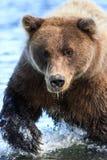 阿拉斯加银色三文鱼小河棕熊爪 免版税库存照片