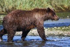 阿拉斯加银色三文鱼小河棕熊走 库存照片