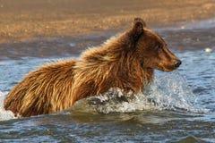 阿拉斯加银色三文鱼小河年轻棕熊渔 免版税库存图片