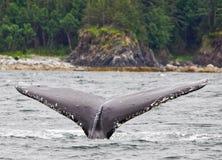 阿拉斯加驼背尾标比目鱼2 免版税库存图片