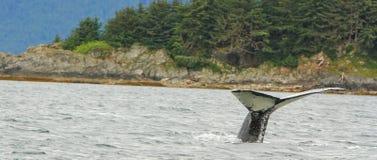 阿拉斯加驼背鲸火焰下潜 免版税库存照片