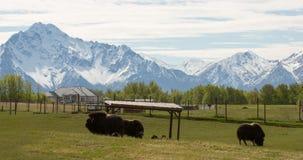 阿拉斯加麝香黄牛和山 免版税库存图片