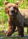 阿拉斯加-滑稽的表面布朗北美灰熊 免版税库存图片
