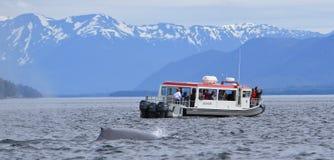 阿拉斯加-追逐小船的鲸鱼 免版税库存图片