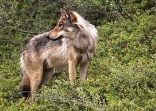 阿拉斯加denali公园狼 免版税库存图片