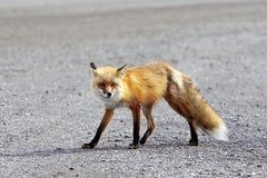阿拉斯加denali狐狸np红色 免版税库存照片