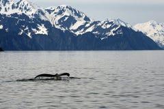 阿拉斯加humpack鲸鱼 库存图片