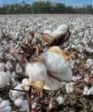 阿拉巴马棉花蒴细节-棉属hirsutum 库存照片
