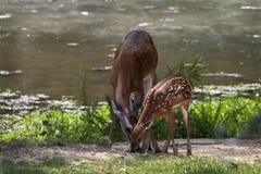 阿拉巴马白尾鹿母鹿和小鹿 库存图片