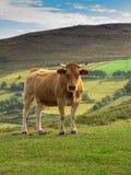 阿斯图里亚斯母牛 免版税库存照片