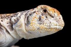 阿曼多刺盯梢了蜥蜴(Uromastyx thomasi) 图库摄影