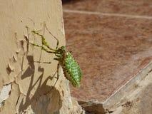 阿曼,塞拉莱,飞行的特写镜头观点的一只螳螂与被涂的翼 免版税图库摄影